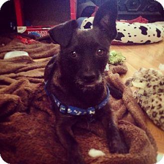 Patterdale Terrier (Fell Terrier) Dog for adoption in Newport Beach, California - Prieto