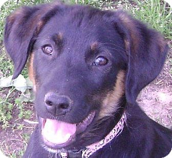 Black and Tan Coonhound Mix Puppy for adoption in Cary, North Carolina - Fergie--ADOPTED