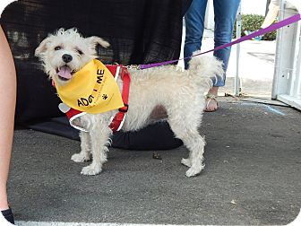 Poodle (Miniature)/Terrier (Unknown Type, Small) Mix Dog for adoption in San Diego, California - Luna
