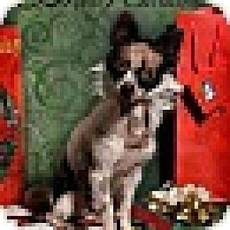 Papillon Mix Dog for adoption in East Setauket, New York - Ricky (in New York)