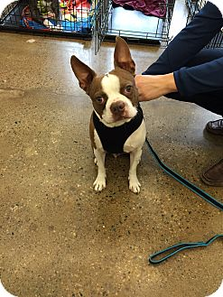 Boston Terrier Dog for adoption in St Clair Shores, Michigan - Country