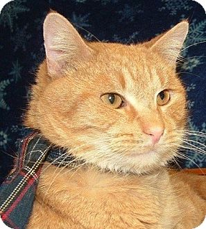 Domestic Shorthair Cat for adoption in Hillside, Illinois - Rusty-CRAVES ATTENTION