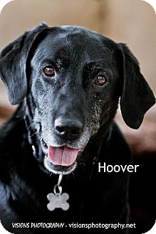Labrador Retriever Mix Dog for adoption in Cedar Rapids, Iowa - Hoover