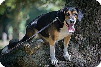 Beagle Mix Dog for adoption in Cedar Rapids, Iowa - Jake