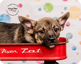 German Shepherd Dog/Norwegian Elkhound Mix Puppy for adoption in Cincinnati, Ohio - Marla