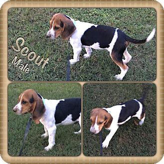 Beagle Mix Puppy for adoption in East Hartford, Connecticut - Scout in CT