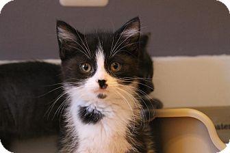 Domestic Shorthair Kitten for adoption in Rochester Hills, Michigan - Blu
