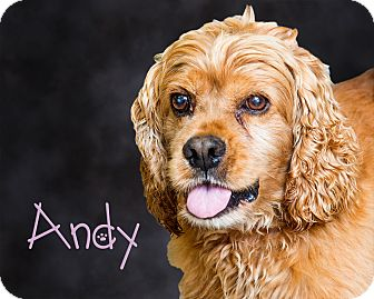 Cocker Spaniel Mix Dog for adoption in Somerset, Pennsylvania - Andy