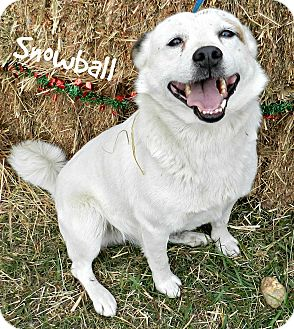 Shiba Inu Mix Dog for adoption in Lawrenceburg, Tennessee - Snowball