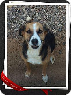 Australian Cattle Dog/German Shepherd Dog Mix Dog for adoption in Apache Junction, Arizona - Regan