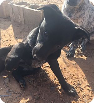 Labrador Retriever/Blue Heeler Mix Puppy for adoption in East Hartford, Connecticut - Cindy-pending adoption