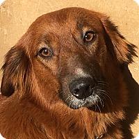 Adopt A Pet :: Goldie - Hagerstown, MD