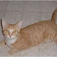 Domestic Mediumhair Cat for adoption in Stuarts Draft, Virginia - Bobby
