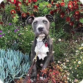 American Pit Bull Terrier/American Staffordshire Terrier Mix Puppy for adoption in santa monica, California - Mackaroni