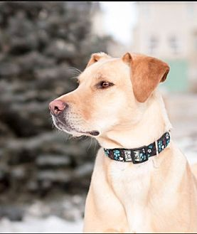 Labrador Retriever Mix Dog for adoption in Winnipeg, Manitoba - Pumpkin