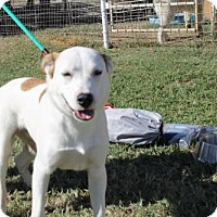 Adopt A Pet :: Beaux - Whitewright, TX