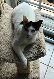 Domestic Shorthair Cat for adoption in Houston, Texas - Libby Lu