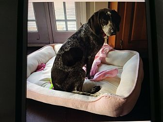 German Shorthaired Pointer Puppy for adoption in Hiram, Georgia - Molly
