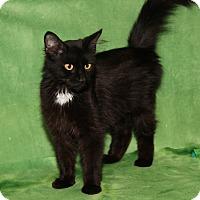 Adopt A Pet :: Pocahontas (Spayed) - Marietta, OH