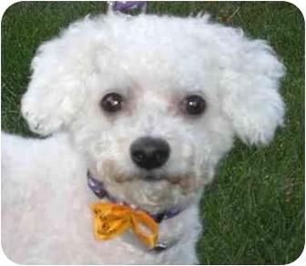 Bichon Frise Dog for adoption in Long Beach, New York - Precious