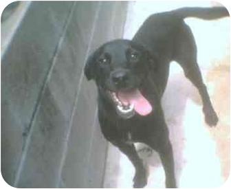 Labrador Retriever Dog for adoption in KELLYVILLE, Oklahoma - DANA