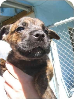 Boxer/German Shepherd Dog Mix Puppy for adoption in Los Angeles, California - Mable