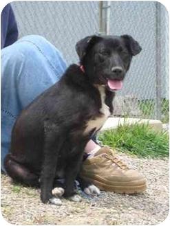 Labrador Retriever Mix Dog for adoption in Florence, Indiana - Josie
