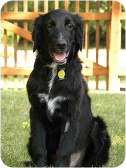 Golden Retriever/Labrador Retriever Mix Dog for adoption in PORTLAND, Maine - Brodie