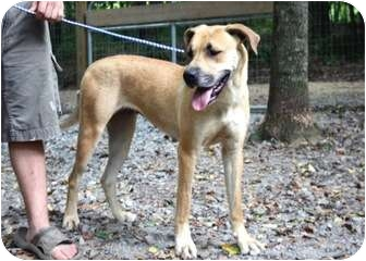 Great Dane/Labrador Retriever Mix Dog for adoption in Cleveland, Georgia - Lizzy