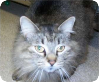 Domestic Longhair Cat for adoption in Grants Pass, Oregon - Taylor