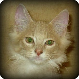 Domestic Mediumhair Kitten for adoption in Weatherford, Texas - Tanner