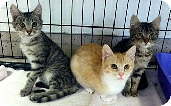 Domestic Shorthair Kitten for adoption in Red Bluff, California - Charles