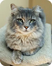Domestic Longhair Cat for adoption in Medford, Massachusetts - Keene