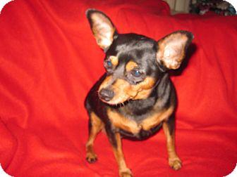 Miniature Pinscher Dog for adoption in Minnetonka, Minnesota - CHEETOS