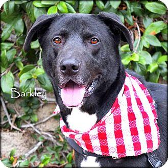 Labrador Retriever Mix Dog for adoption in Vista, California - Barkley