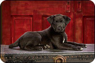 Labrador Retriever Mix Puppy for adoption in Owensboro, Kentucky - Kyle