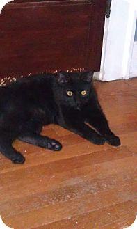 Domestic Shorthair Cat for adoption in Cleveland, Ohio - Buckeye