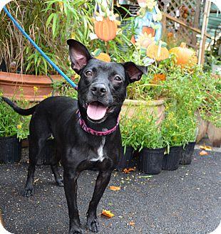 Labrador Retriever Mix Dog for adoption in Houston, Texas - Maya