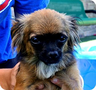 Chihuahua Mix Dog for adoption in white settlment, Texas - Zoey