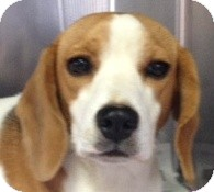 Beagle Dog for adoption in Canoga Park, California - Maggie