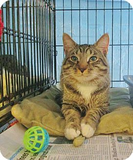 Domestic Shorthair Cat for adoption in Brooklyn, New York - Andre