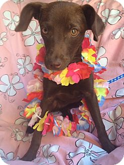Chihuahua/Miniature Pinscher Mix Puppy for adoption in Irvine, California - REESIE, video!