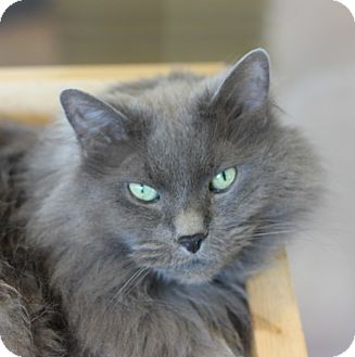 Domestic Longhair Cat for adoption in Chicago, Illinois - Mischa