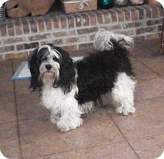 Shih Tzu/Dachshund Mix Dog for adoption in Mary Esther, Florida - Lee