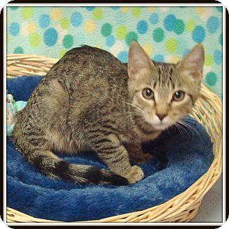 Domestic Shorthair Kitten for adoption in Glendale, Arizona - Boris