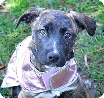Boxer/Hound (Unknown Type) Mix Puppy for adoption in Charlotte, North Carolina - Ivy (Christmas Litter)