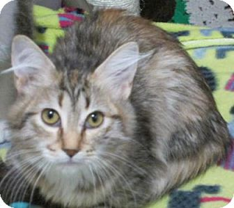 Domestic Mediumhair Kitten for adoption in Des Moines, Iowa - Petunia