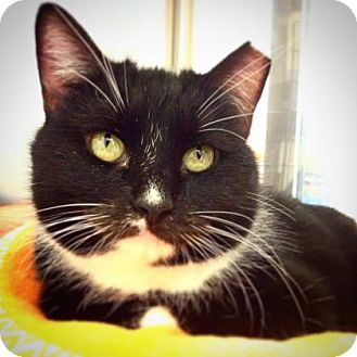 Domestic Shorthair Cat for adoption in Benbrook, Texas - Sage