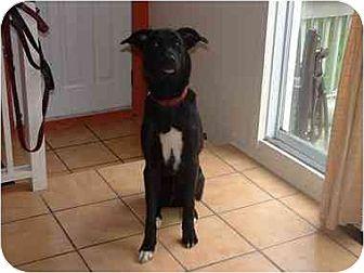 Labrador Retriever Mix Dog for adoption in Kirkland, Quebec - Tory