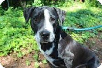Labrador Retriever/American Bulldog Mix Dog for adoption in Macon, Georgia - Rigby